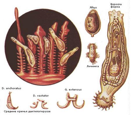 Дактилогирус
