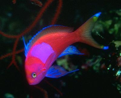 анемия у рыб