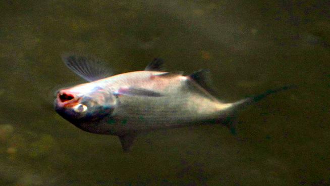 Отравления рыб