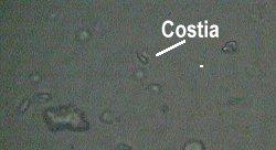 costia5689