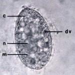 Тетрахимен1