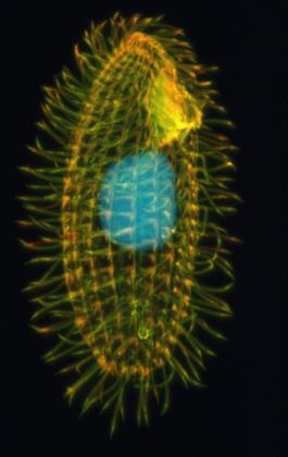 Tetrahymena_thermophila