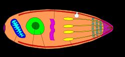 Sporozoa 3