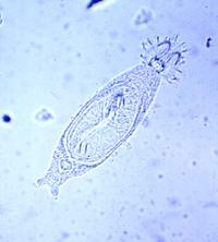 gyrodactylus6789