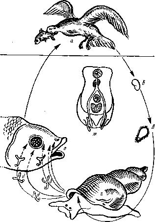 постодиплостоматозр678