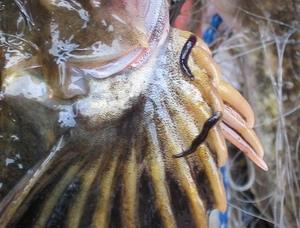 Пиявка писцикола на рыбе