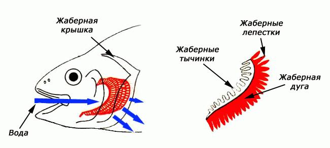 Жабры 2