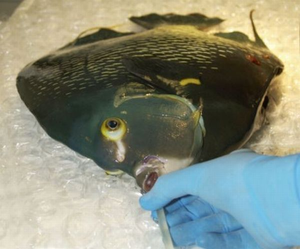 Анестезия рыб