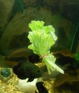 Зелень для рыб