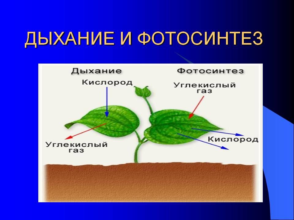 следствие — дыхание растений