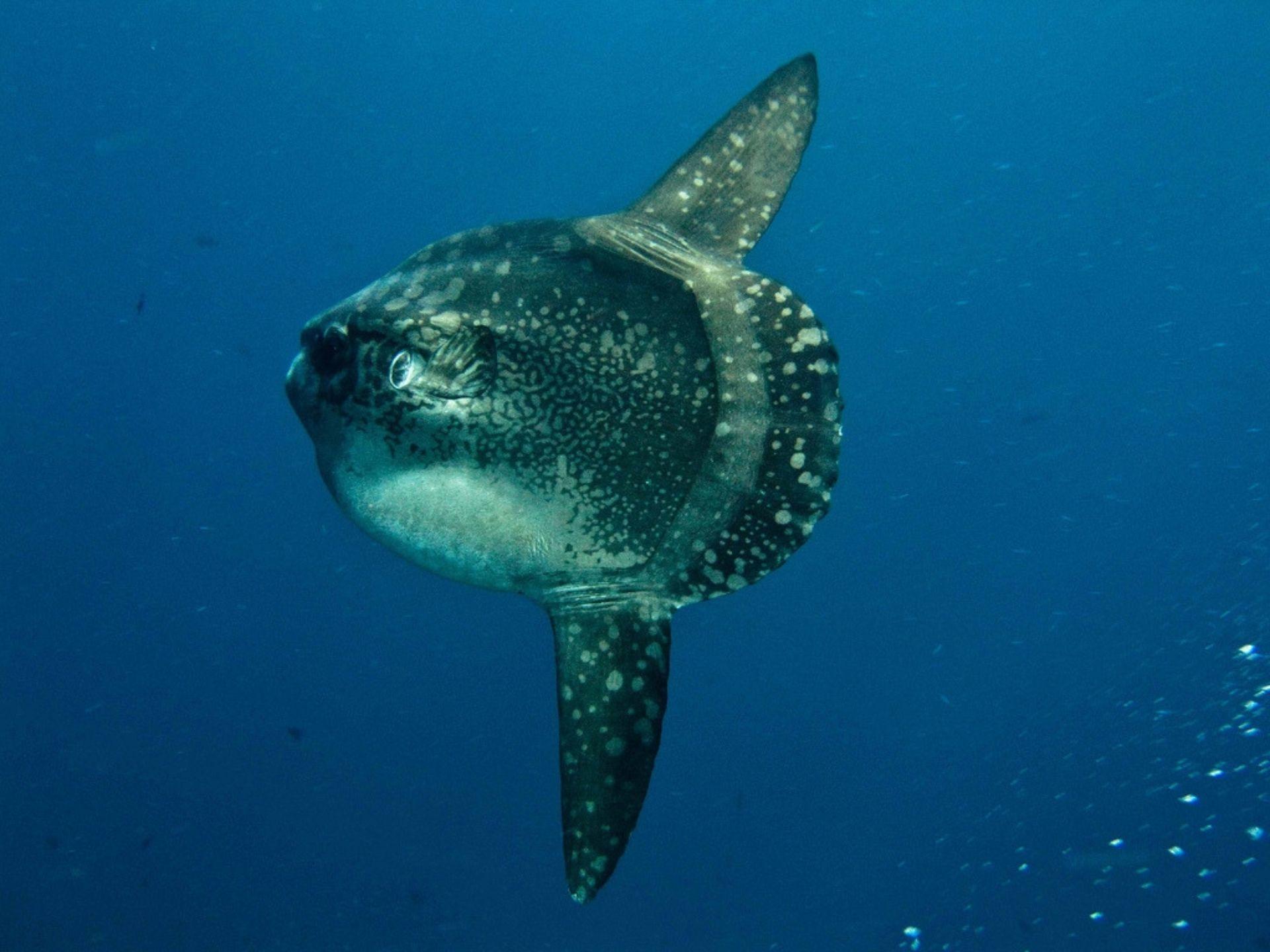 Океаническая солнечная рыбка
