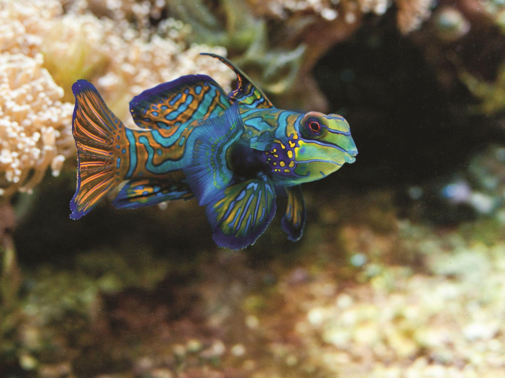 Рыба-мандарин