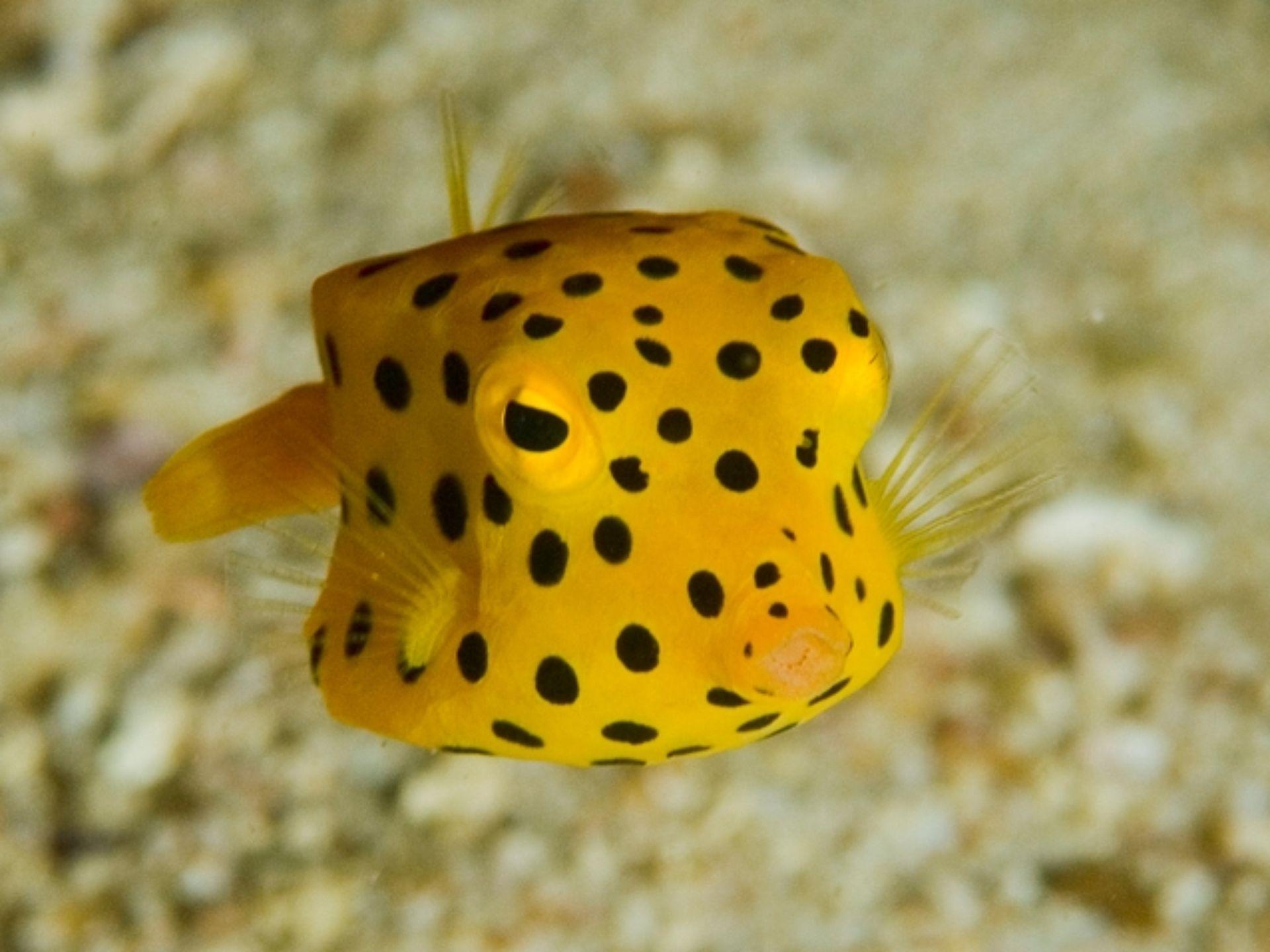 Рыба-сундук