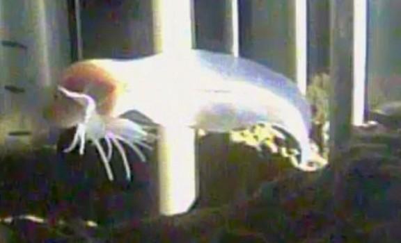 Новый вид семейства Липаровых