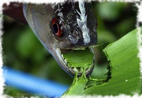 Рыбы едят растения 4