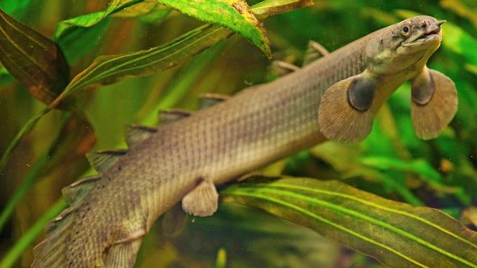 Рыба-дракон
