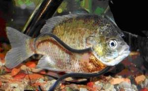 Ванделлия обычная в жабрах у другой рыбы