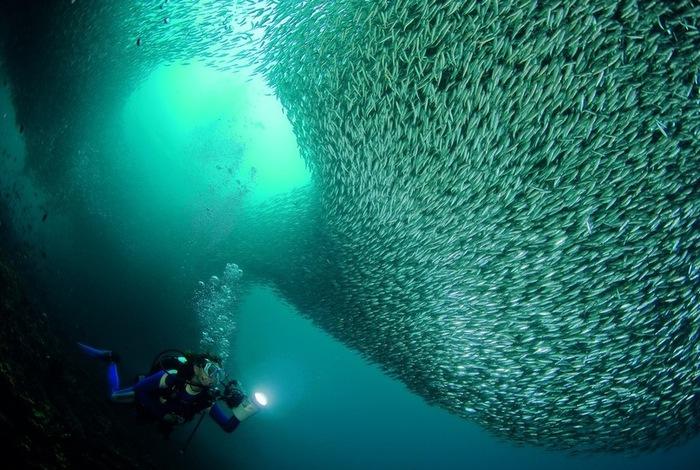 Косяки океанических рыб