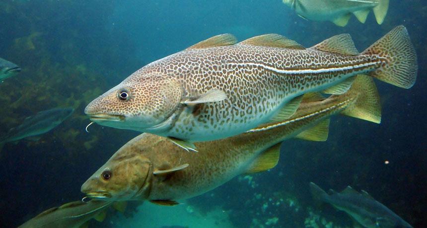 Океанические рыбы