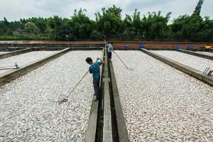 Рыбные фермы в Китае
