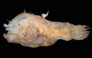 Самец морского черта на самке