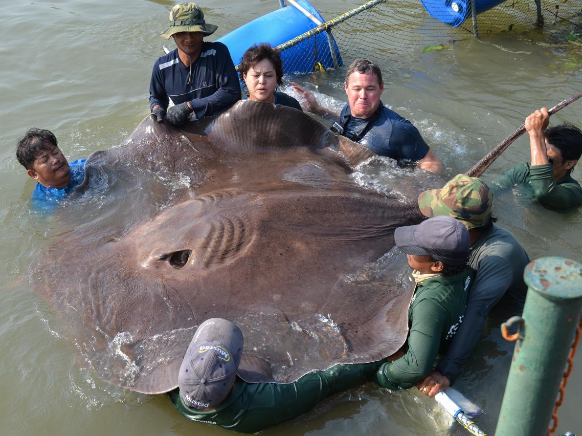 Пойманный в феврале 2015 г. гигантский скат