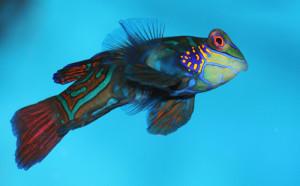 Тропическая рыбка мандаринка