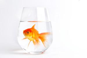 Золотая рыбка в чашке