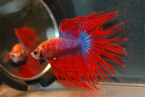 Сиамская бойцовая рыбка или петушок