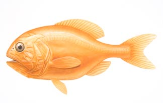 Оранжевый хоплостет
