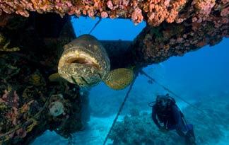 Гигантский морской окунь