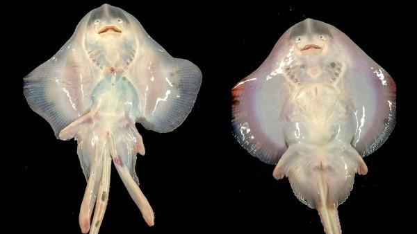 Эволюция полвого органа ската