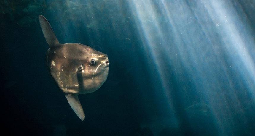 Луна рыба