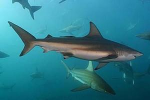 Темная акула