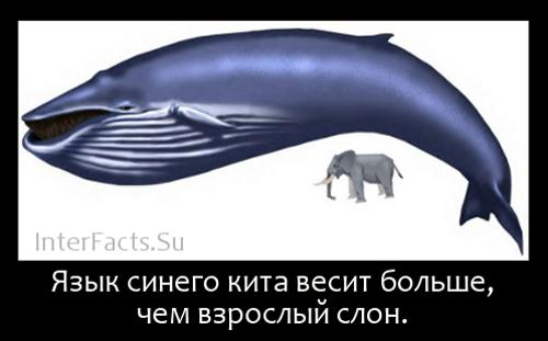Язык синего кита