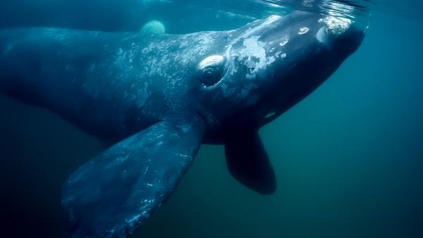 Гладкий североатлантический кит