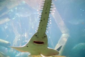 Пила-рыба1