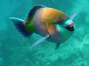 Еще разновидность рыбы-попугая