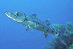 Great_Barracuda