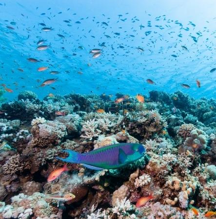 Рыба-попугай на фоне тропического кораллового рифа