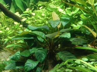 анубиас бартера кофеволия в аквариуме