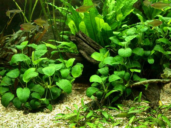 аквариумное растение анубиас в аквариуме