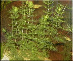 роголистник полу-погруженный или светло-зеленый