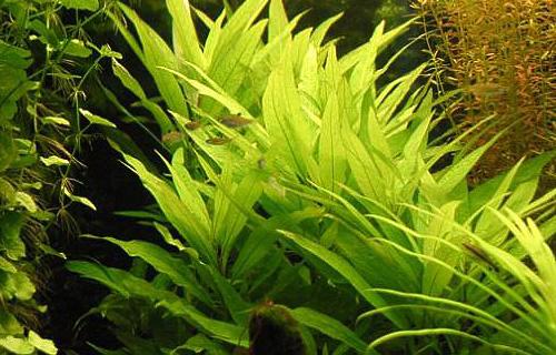 номафила в аквариуме