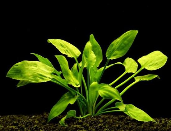 Криптокорина pontederiifolia (понтедериеволистная)
