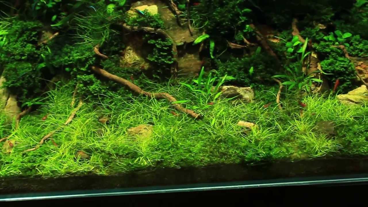 эхинодорус нежный в аквариуме