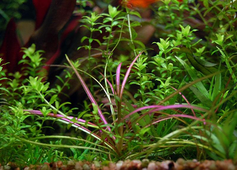 эхинодорус руба в аквариуме