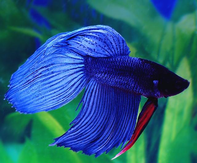 рыба петушок ярко-синий окрас