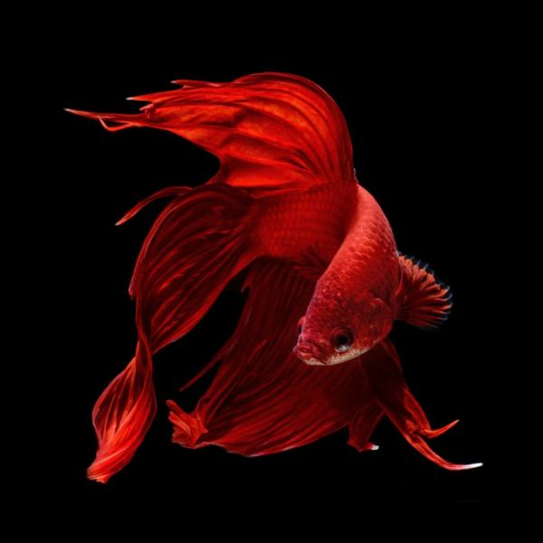 рыба петушок ярко-красный окрас
