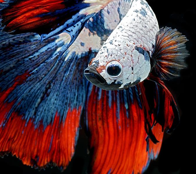 рыба петушок красно-бело-синий  окрас